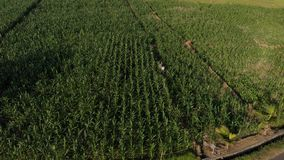 4K aerial flying drone video of young couple tourists walking in cornfield. Bali island. Indonesia stock photography