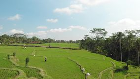 4K aerial flying video of green grass background and palms. Bali island. Indonesia stock photos