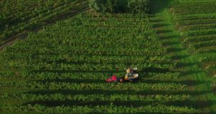 4k aerial footage of grape harvest in vineyard with machinery tractor harvester in autumn stock video footage