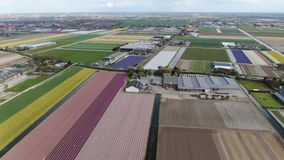 4k aerial video of colorful dutch tulip fields in spring. 4k aerial video of a dutch agricultural landscape with colorful tulip fields in spring stock footage