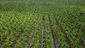 4k aerial view agriculture coconut farm. Aerial view agriculture coconut farm stock footage
