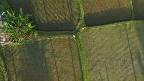 4K aerial view flying video of young honeymoon couple with small dog in the jungle of Bali island, rice fields. Tropical stock image