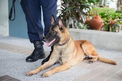 K 9 alsatian dog crouch beside training. Awareness k 9 alsatian dog crouch and looking beside law enforcement trainer Royalty Free Stock Image