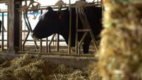 4K, animali domestici che mangiano fieno in granaio Mucche del bestiame che pascono sull'azienda agricola moderna stock footage