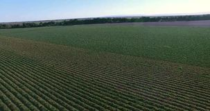 4K Arial view of the plantation stock video footage