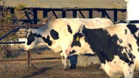 K?he auf einem Bauernhof mit Viehhaltung stock footage