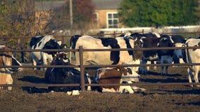 K?he auf einem Bauernhof mit Viehhaltung stock video