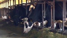 K?he auf einem Bauernhof mit Viehhaltung stock video footage