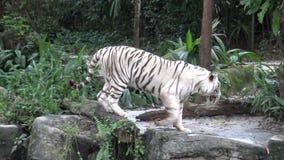 4k Aziatisch meisje die foto met cameratelefoon nemen van witte tijger in de dierentuin stock videobeelden