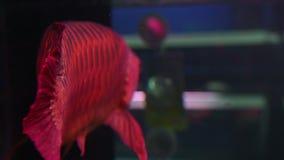 4K azjaty Arowana ryby pływanie i pławik zbiory