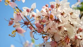 4K. beautiful blooming pink flower blowing by the wind in spring time season with blue sky at background.  stock video footage