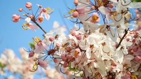 4K. beautiful blooming pink flower blowing by the wind in spring time season with blue sky at background, copy space.  stock footage