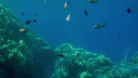 4k beautiful video of fishes swimming around corals in red sea. School and shoal of underwater habitants in the ocean. 4k beautiful footage of fishes swimming stock video footage