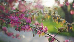4k beutiful spring flower cherry or sakura tree branch blossom sunset background. In Odessa stock video footage