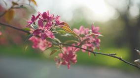 4k beutiful spring flower cherry or sakura tree branch blossom sunset background. In Odessa stock footage