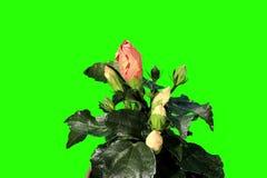 4K. Blühender orange grüner Schirm der Hibiscusblumenknospen stock video footage