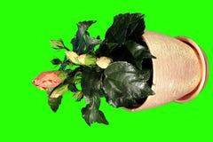 4K. Blühender orange grüner Schirm der Hibiscusblumenknospen stock video