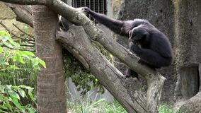 4K A black-furred gibbon is resting on tree branches at zoo. Captive Siamang. 4K, A black-furred gibbon is resting on tree branches at zoo. Captive Symphalangus stock video footage