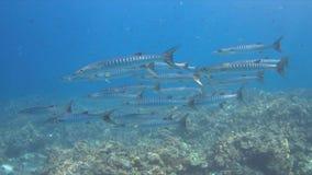 4k Blackfin-Barracuda's op een Koraalrif Stock Fotografie