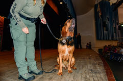 K-9 Bloodhound Stock Images