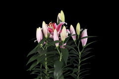 4K.Blooming pink lily flower buds ALPHA matte stock video