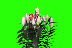 4K.Blooming pink lily flower buds green screen stock video