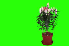 4K.Blooming pink lily flower buds green screen stock footage