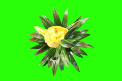 4K. Blooming yellow lily flower buds green screen, Ultra HD. stock video footage
