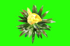 4K. Blooming yellow lily flower buds green screen, Ultra HD stock video