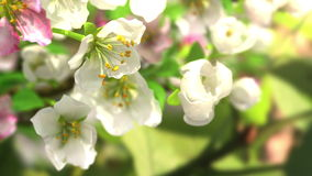 4k blossoming apple-tree