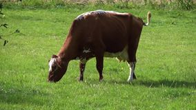 4K. A brown and white cow are grazing in a green meadow in Edam stock footage
