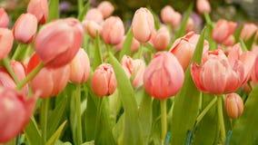 4K bunt von den Tulpenblumen fangen Sie im Frühjahr Jahreszeit, rosa Tulpe auf stock footage