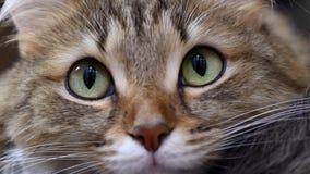 4K: Caçador do gatinho dos olhos verdes Close up da cara Macro vídeos de arquivo