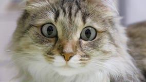 4K: Caçador do gatinho dos olhos verdes Close up da cara Macro filme