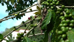 4K, cafeto con las bayas rojas y verdes en ramas en la plantación de café almacen de video