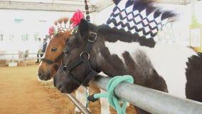 4k, cavalo extravagante do anão no jardim zoológico filme