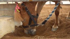 4k, cavalo extravagante do anão no jardim zoológico vídeos de arquivo