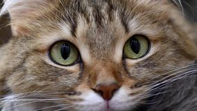 4K: Cazador del gatito de los ojos verdes Primer de la cara Macro metrajes