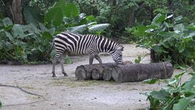 4k, cebra de los llanos en el parque zoológico, también conocido como la cebra común o cebra de Burchell almacen de metraje de vídeo