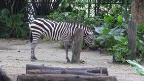 4k, cebra de los llanos en el parque zoológico, también conocido como la cebra común o cebra de Burchell almacen de video