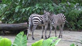 4k, cebra de los llanos en el parque zoológico, también conocido como la cebra común o cebra de Burchell metrajes