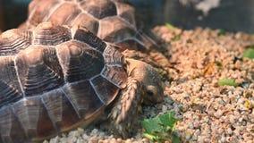 4K cerca para arriba tiró de una tortuga de desierto almacen de metraje de vídeo