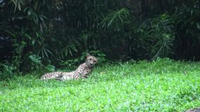4k, The cheetah or the hunting leopard is lying in the grass of the zoo. 4k, The cheetah also known as the hunting leopard is lying in the grass of the zoo -Dan stock video footage