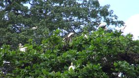 4k, cicogna bianca degli uccelli (ciconia di Ciconia) nella cima dell'albero che fa il nido video d archivio