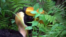 4K, cierre encima de un gran Hornbill indio masculino en la selva verde, Asia sudoriental almacen de video