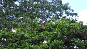 4k, cigüeña blanca de los pájaros (ciconia del Ciconia) en el top del árbol que hace la jerarquía almacen de metraje de vídeo