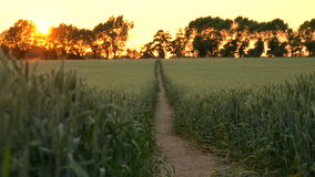 4K clip of path through wheat or barley field blowing in the wind at sunset or sunrise. Pull focus, foreground to background, 4K clip of path through wheat or stock footage