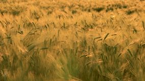4K clip of wheat or barley field blowing in the wind at sunset or sunrise stock footage