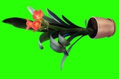4K. Clivia花蕾绿色屏幕成长