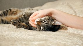 4K Close up hands of the girl plays with sleeping cute tabby cat royalty free stock photography